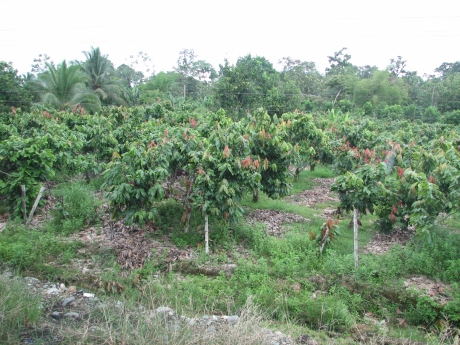 Field of cacao plants